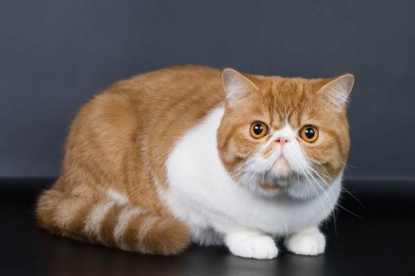 Gato exotico de pelo corto peru