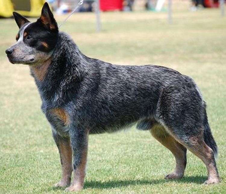 Todas las Razas de Mascotas (Perros o Gatos) en PETSmania