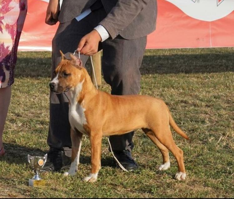 American Staffordshire Terrier. KARBALLIDO STAFFS TALK ABOUT ME. .