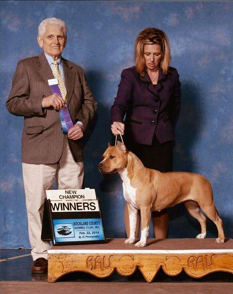 American Staffordshire Terrier. AKC CH CASANOVA S RUMOR HAS IT.