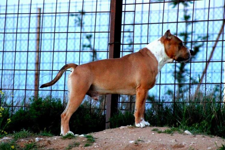 American Staffordshire Terrier. Nivariastaff You Are The Bomb.