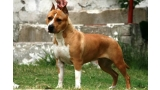 American Staffordshire Terrier. Mystiks One In A Millon.