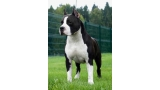 American Staffordshire Terrier. Don King of Ring´s.