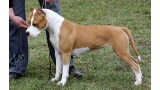 American Staffordshire Terrier. Arizona Of Flight Staff.