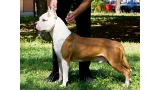 American Staffordshire Terrier. White Head Long Step.
