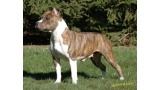 American Staffordshire Terrier. Timbarland´s Pixie Stick Ra.