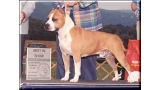 American Staffordshire Terrier. Fraja Ec Golden Boy.