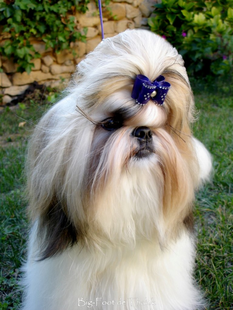 Shih Tzu.  Ch. Big Foot De Thalek Nothing Is Impossible.