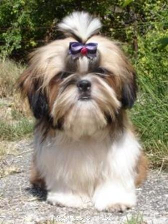 Shih Tzu.  Ch. Big Foot De Thalek Clear Spring.