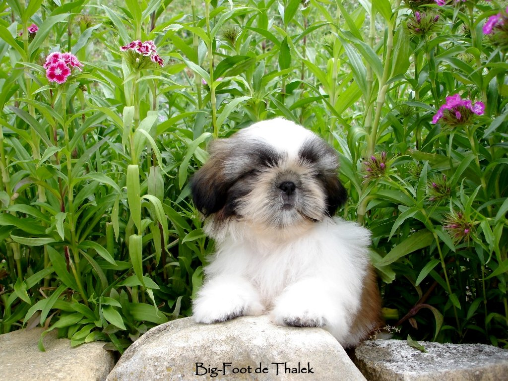 Shih Tzu. Big Foot De Thalek Our Sweet Surprise.
