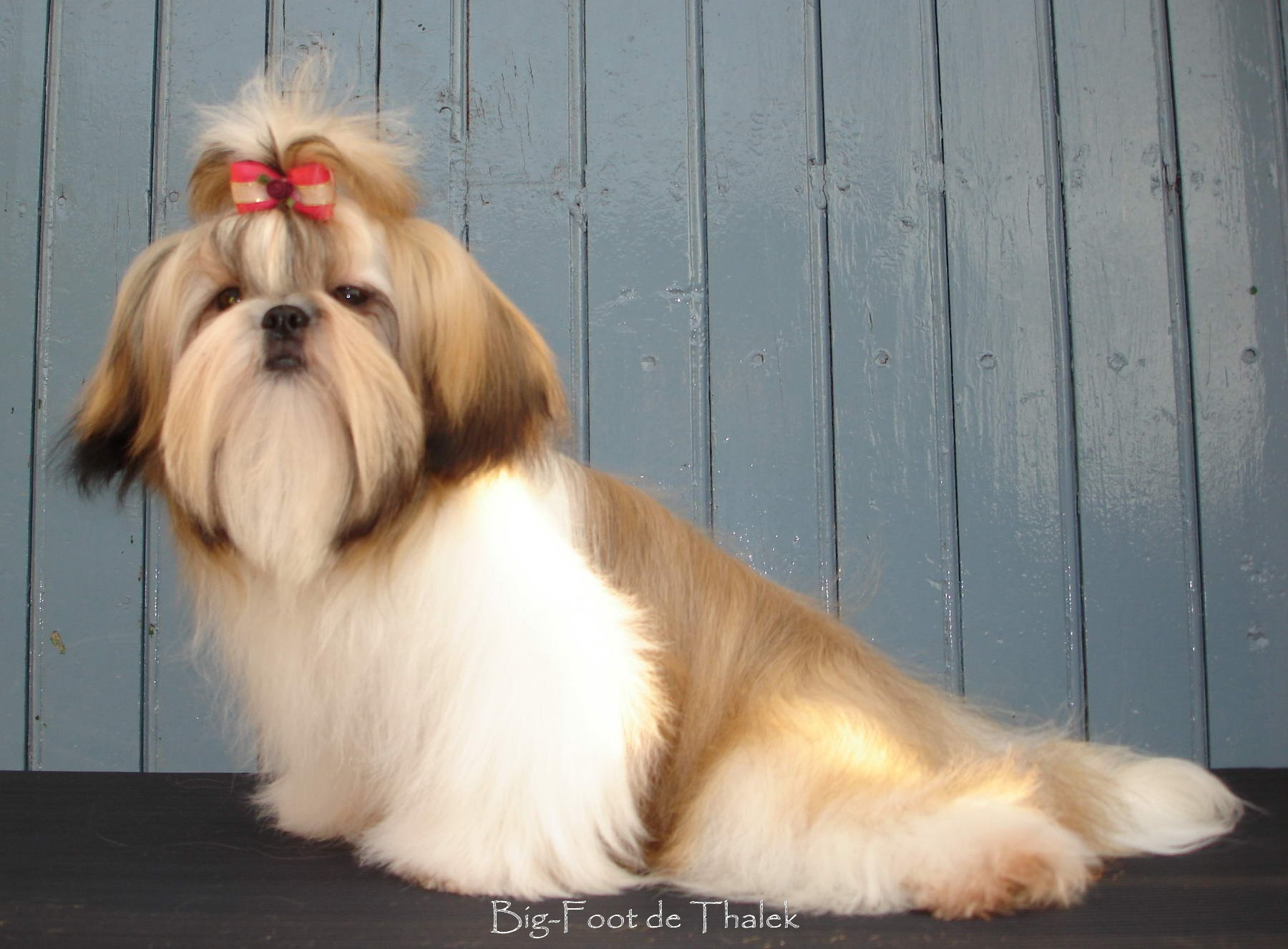 Shih Tzu. Big Foot De Thalek A Lovely Dream.
