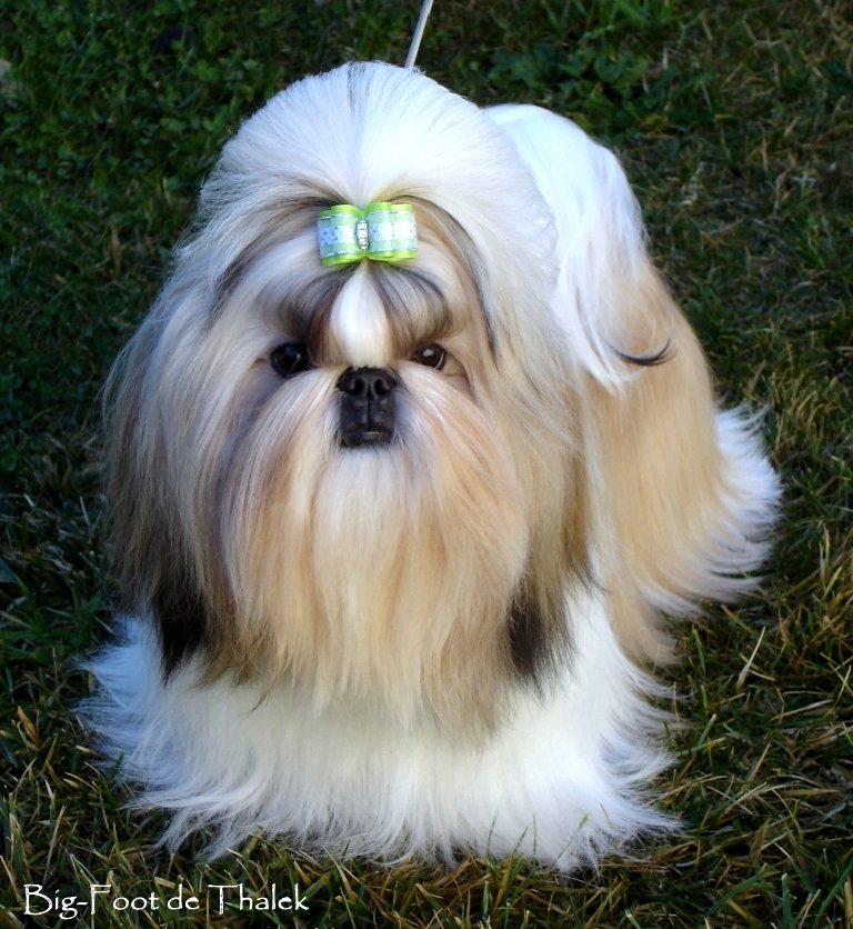 Shih Tzu. Lemuro Feel The Angel.