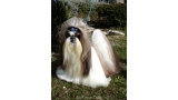 Shih Tzu.  Ch. Big Foot De Thalek Imperial Dragon.