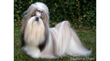 Shih Tzu.  Ch. Big Foot De Thalek Ghost In Love.