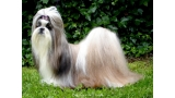 Shih Tzu.  Ch. Big Foot De Thalek Happy Ilusion.