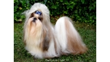 Shih Tzu.  Ch. Big Foot de Thalek Give Me Five.