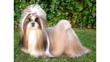 Shih Tzu.  Ch. Big Foot De Thalek Honey Bear.