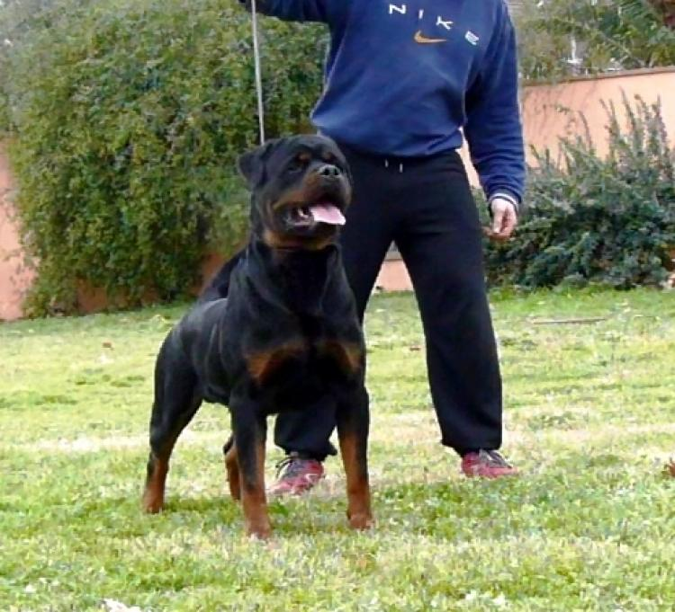 Rottweiler.  Ch. N´rock N´roller From House Rotvis.