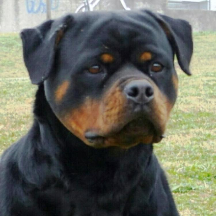 Rottweiler.  Ch. Ruby Miracle Rott.