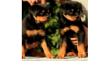Rottweiler. Puppies Of Royal Musketiers Kennel.