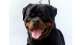 Rottweiler.  Ch. Sting Haus Of Lazic.