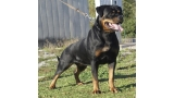 Rottweiler.  Ch. DIXI MIRACLE ROTT.