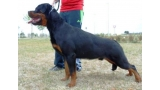 Rottweiler.  Ch. Attosh De Breogan. 9 months old on photo.