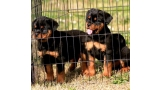 Rottweiler. Puppies Of Royal Musketiers.