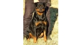 Rottweiler.  Ch. Barbi King Of The East.