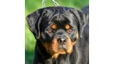 Rottweiler. Combo Dark Force.