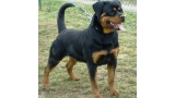 Rottweiler. Carera Of Nicola´s Lion.