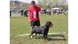 Rottweiler. GERO KING OF THE EAST.