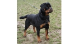 Rottweiler.  Ch. Iva Of Nicola´s Lion.