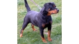 Rottweiler. Mandy Can Auladell.