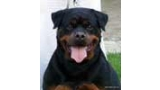 Rottweiler.  Ch. Welldan Diva From House Rotvis.