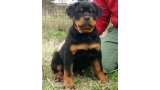 Rottweiler. Puppies Of Royal Musketiers Kennel. Ch. Jerry Lee van Gorgar x Kris of Royal Musketiers
