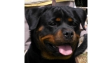 Rottweiler. Holly De Breogan.
