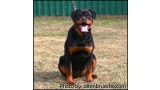 Rottweiler. Beely con 5 meses