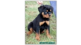 Rottweiler. Marsthall Ritter Vom Camelot.