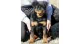 Rottweiler. Elly Dark Force.