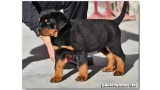 Rottweiler. Eliot Dark Force.