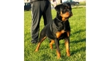 Rottweiler. Pink Flash Rouses.