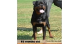 Rottweiler.  Ch. Jerry Lee Van Gorgar.