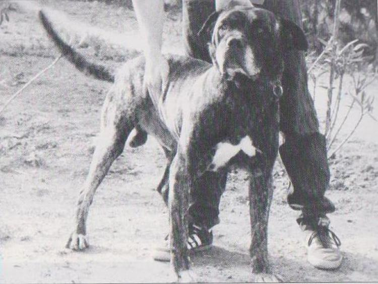 Dogo Canario. Fotos Historicas. Way.
