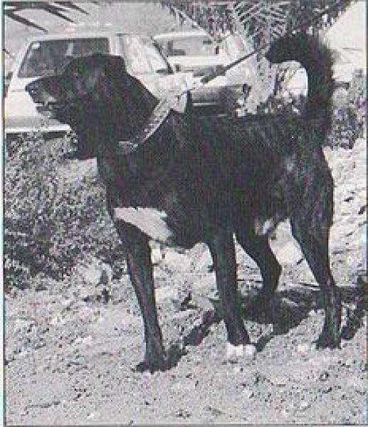 Dogo Canario.