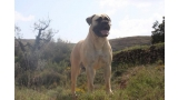 Bullmastiff. Game Keeper´s Vanilla Sky.