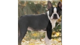 Boston Terrier. Luxury Dogs Miss Fressia.