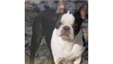 Boston Terrier. Pinchecarneiro Baby Blue.