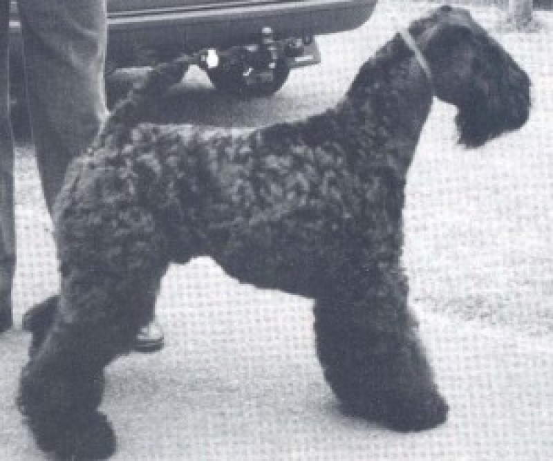 Kerry Blue Terrier. Ch. Louisburgh Danny Boy.