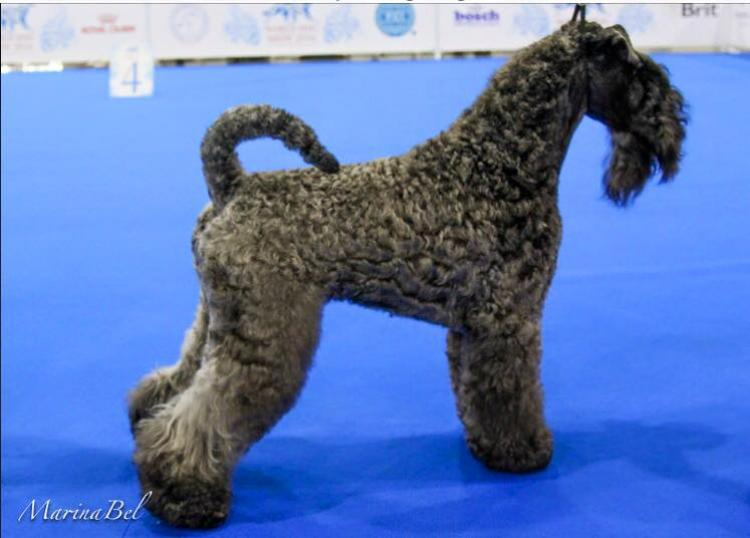 Kerry Blue Terrier.  Ch. La Cadiera Fenomeno Azul.